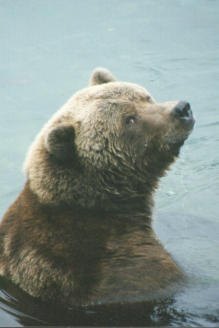 how do brown bears adapt to their environment